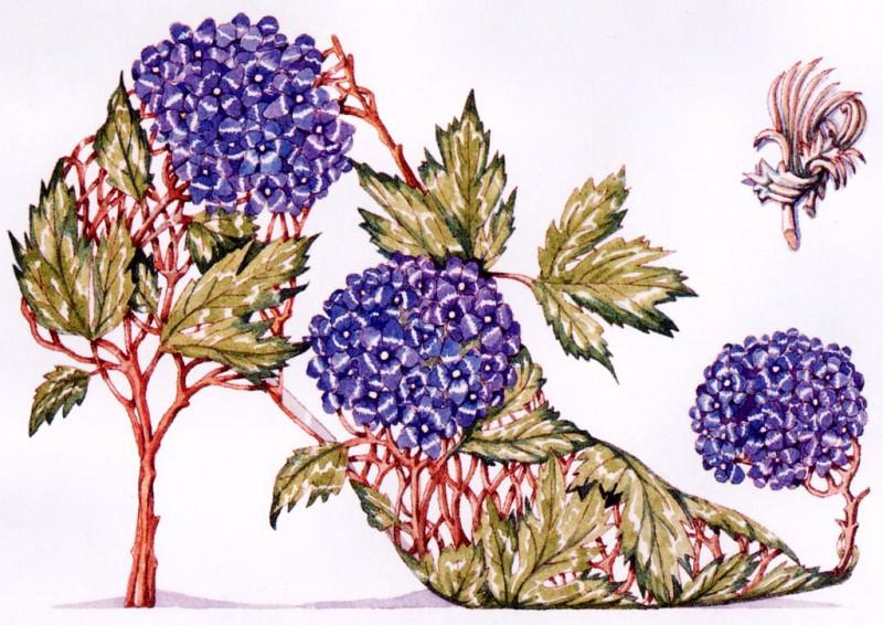 Hydrangea. Dennis Kyte