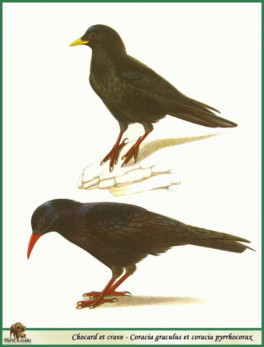 Coracia graculus & coracia pyrrhocorax. Walter Linsenmaier