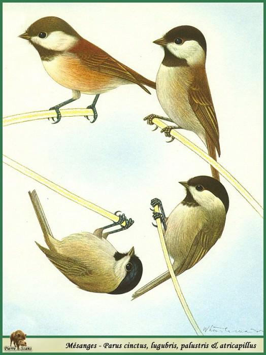 Parus cinctus & lugubris & palustris & atricapillus. Walter Linsenmaier