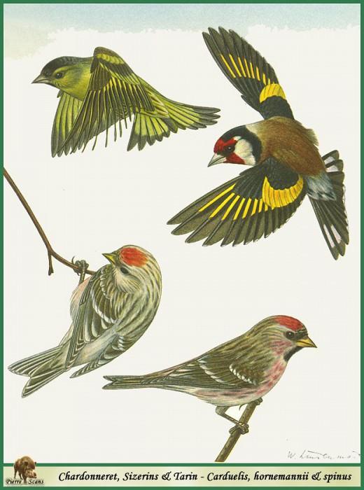 Carduelis & hornemannii & spinus. Walter Linsenmaier