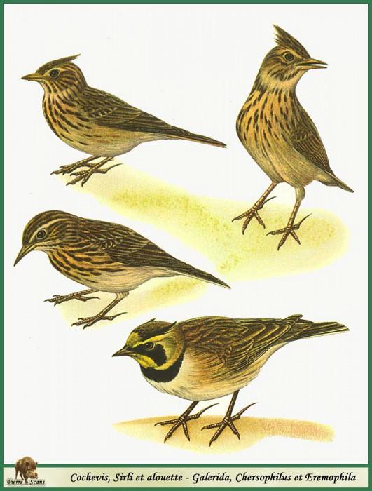 Galerida & Chersophilus & Eremophila. Walter Linsenmaier