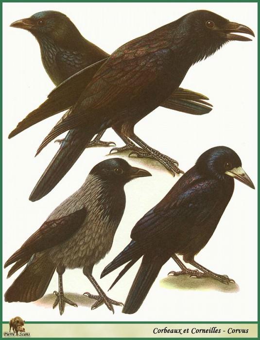 Corvus corax & corone & frugilegus & cornix. Walter Linsenmaier