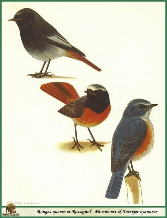 Phoenicuri & Tarsiger cyanurus. Walter Linsenmaier