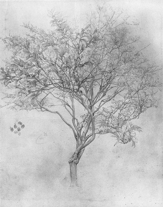 Leighton Study of a Lemon Tree. Frederick Leighton
