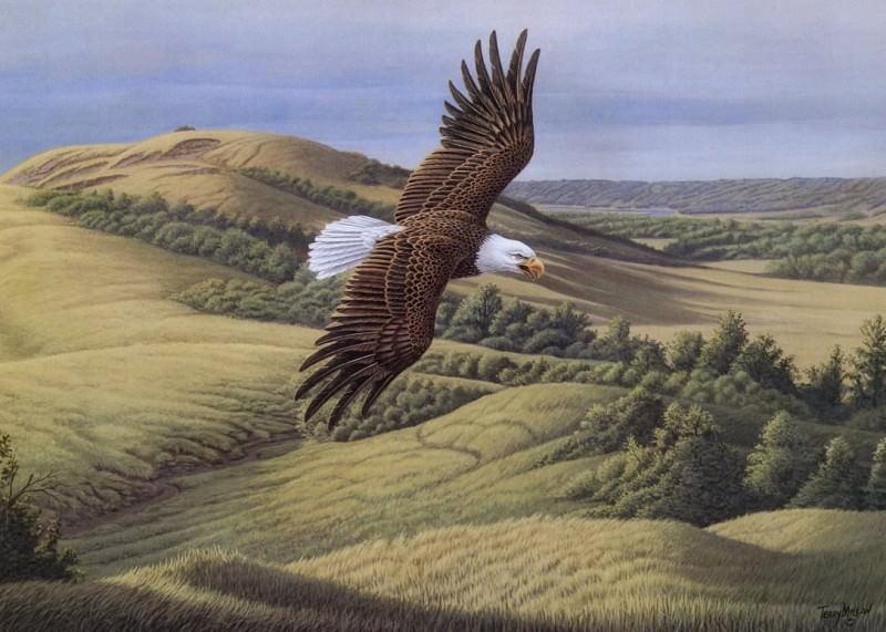 Лысый орел над долиной Ассинибойн. Терри Маклин