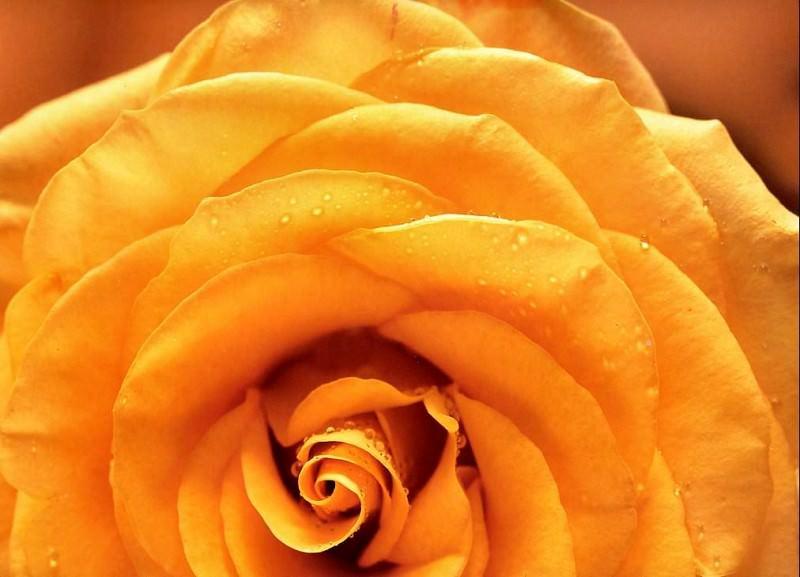 Maria Robledo - Yellow Rose, De. Maria Robledo