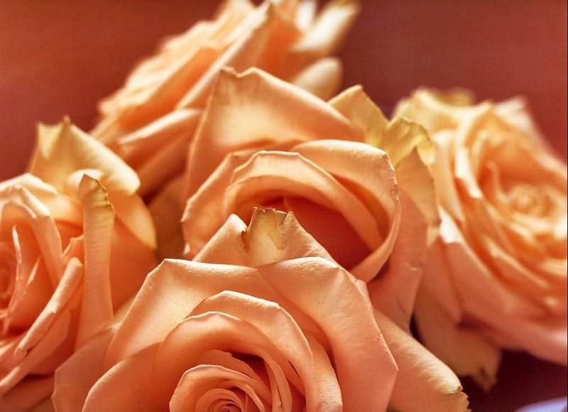 Maria Robledo - Peach Rose, De. Maria Robledo