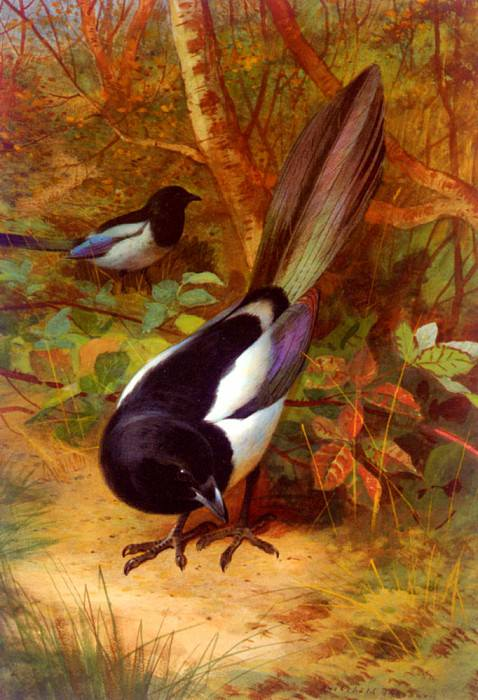 Thorburn Archibald Magpies. Archibald Thorburn
