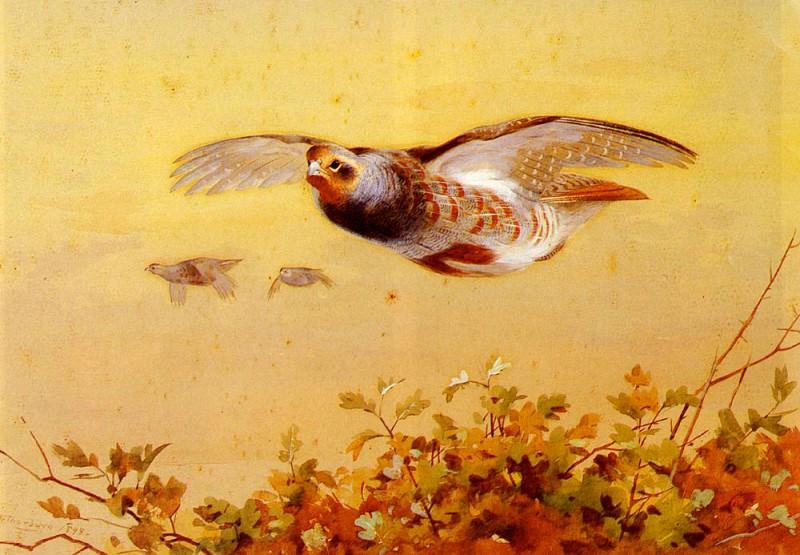 Thorburn Archibald English Partridge In Flight. Archibald Thorburn