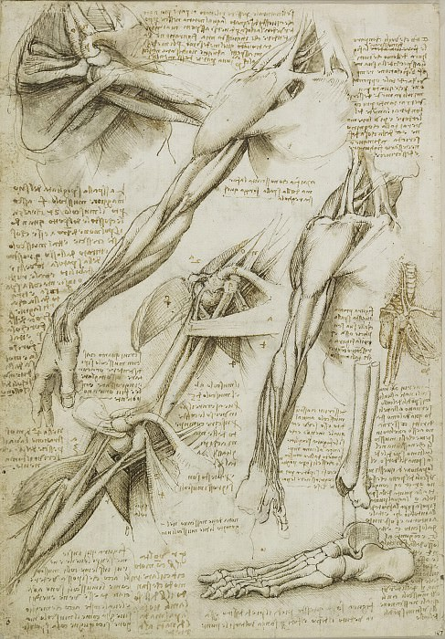 The muscles of the shoulder, arm and the bones of the foot. Leonardo da Vinci