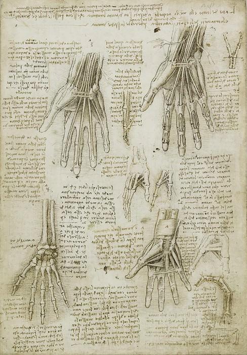 The bones, muscles and tendons of the hand. Leonardo da Vinci