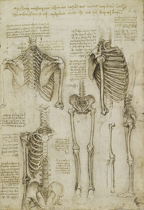 The skeleton. Leonardo da Vinci