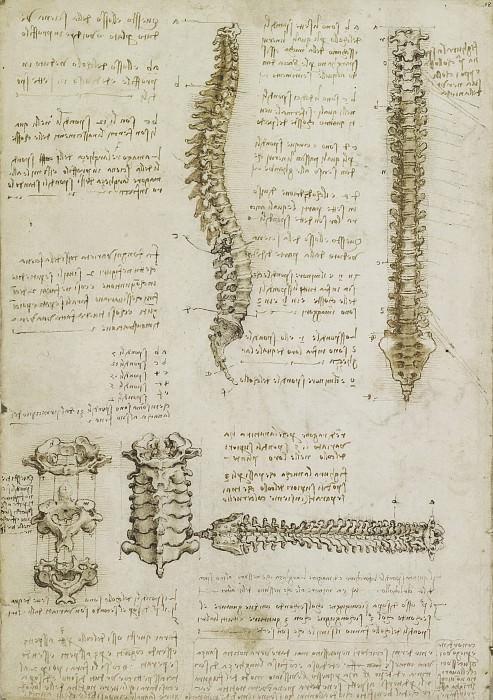 The vertebral column. Leonardo da Vinci
