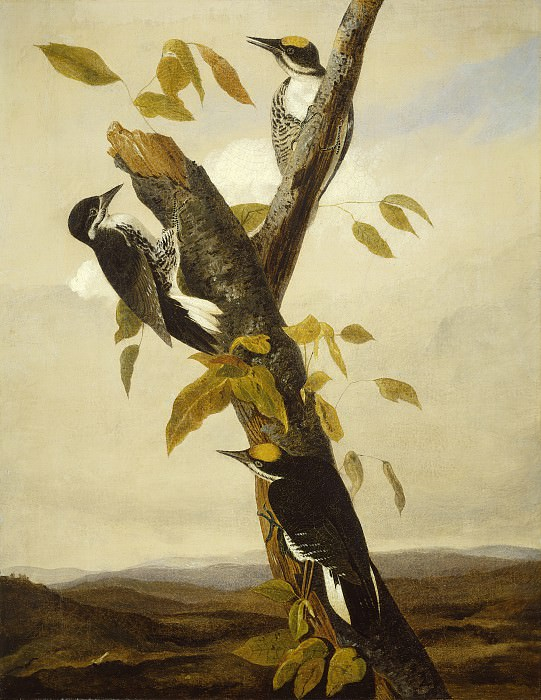 Joseph Bartholomew Kidd after John James Audubon - Black-Backed Three-Toed Woodpecker. National Gallery of Art (Washington)
