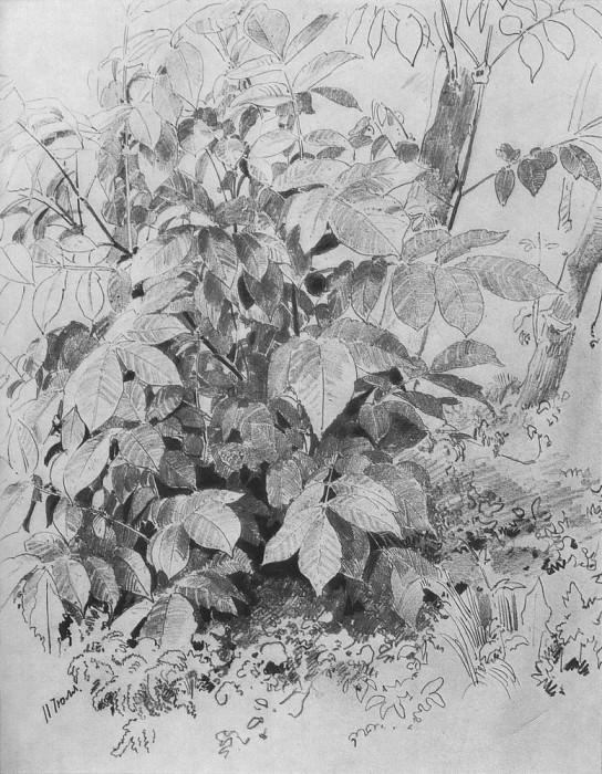 Young shoots nut 1870 32h22, 5. Ivan Ivanovich Shishkin