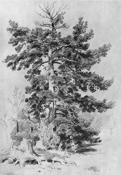 Сосна 1889 43х30. Иван Иванович Шишкин