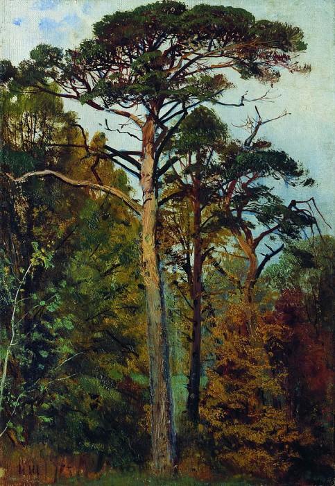 Pine 34, 524. 5. Ivan Ivanovich Shishkin
