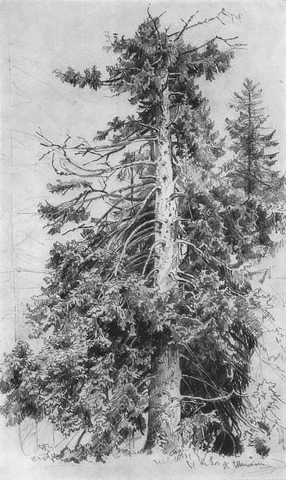 Spruce. 1870 48, 5h30. Ivan Ivanovich Shishkin
