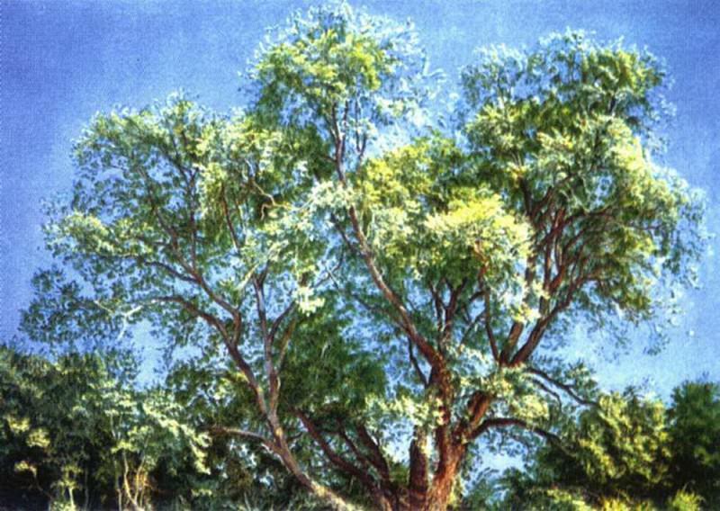Наружное дерево парка Киджи. Александр Андреевич Иванов
