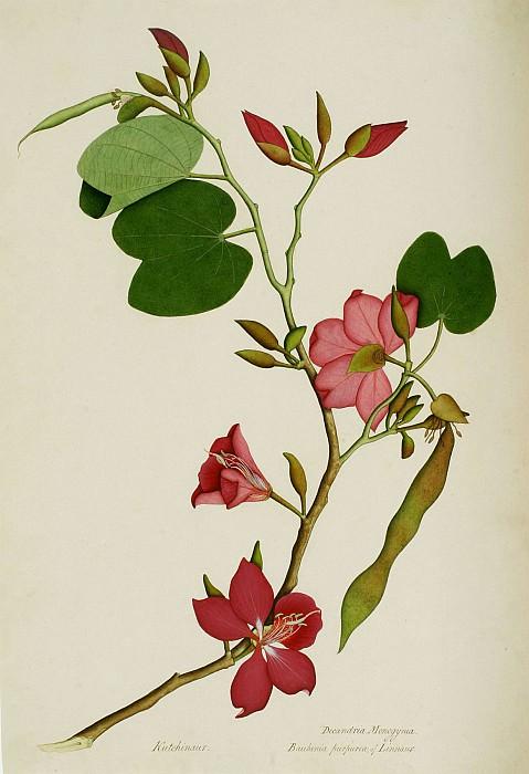 Bauhinia purpurea. European art; part 1