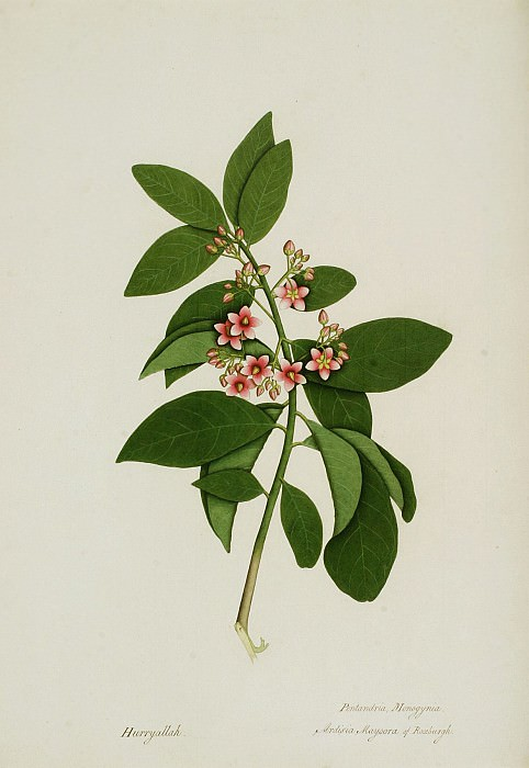 Ardisia solanacea 13030 172. European art; part 1