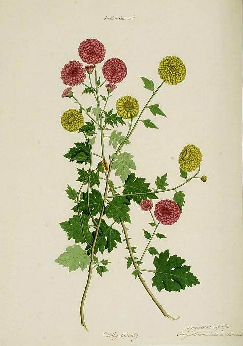 Dendranthema x grandiflora 15125 172. European art; part 1