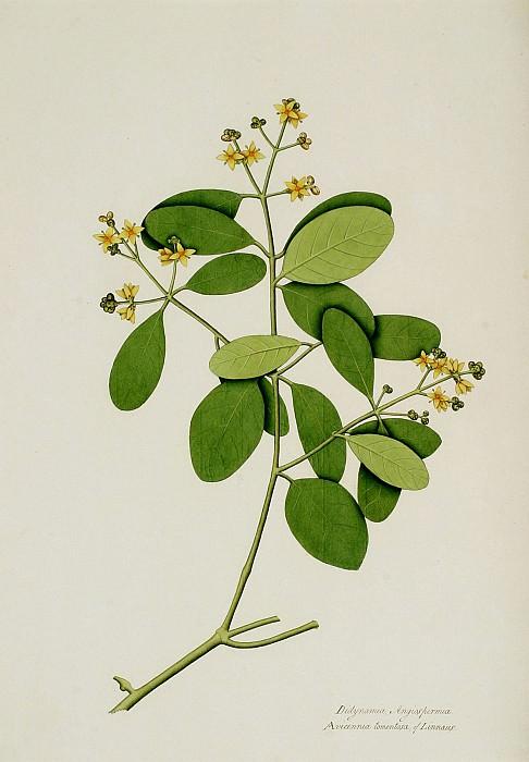 Avicennia officinalis 13040 172. European art; part 1