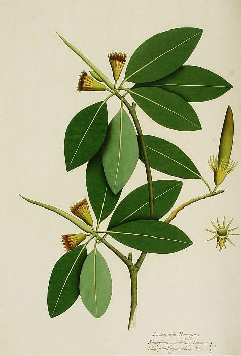 Bruguiera gymnorhiza 15119 172. Европейская живопись; часть 1