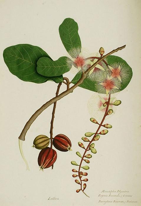 Barringtonia racemosa 13047 172. European art; part 1