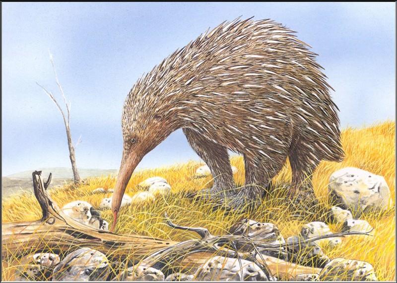 PO ExtAn 085 Zaglossus hacketti. PO_Extinct_Animals