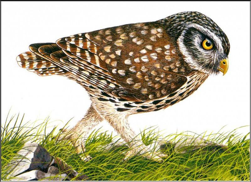 PO ExtAn 054 Athene cretensis. PO_Extinct_Animals