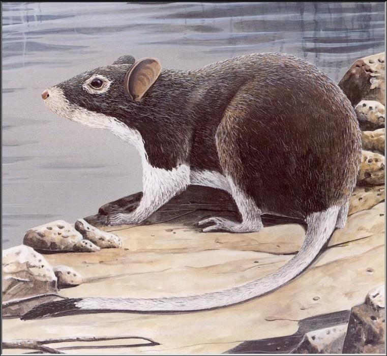 PO ExtAn 021 Megalomys demarestii. PO_Extinct_Animals