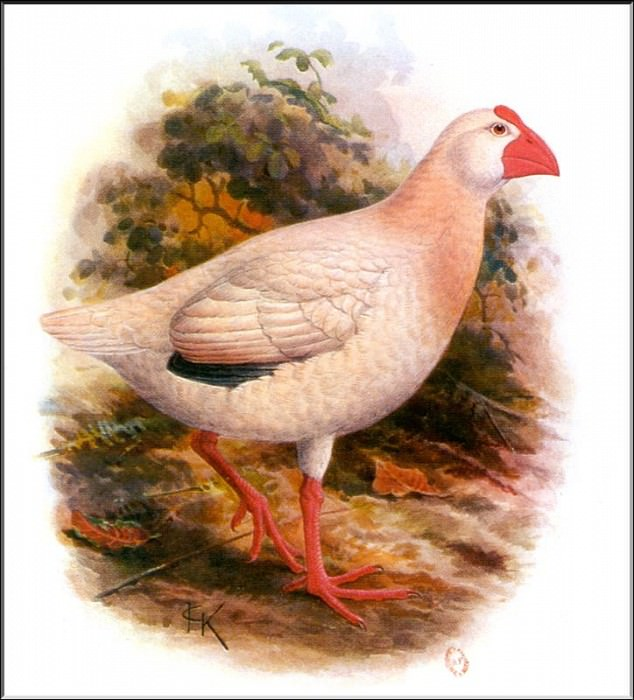 PO ExtAn 048 Porphyrio alba. PO_Extinct_Animals