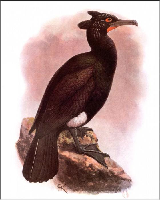 PO ExtAn 028 Cormoran а lunettes. PO_Extinct_Animals