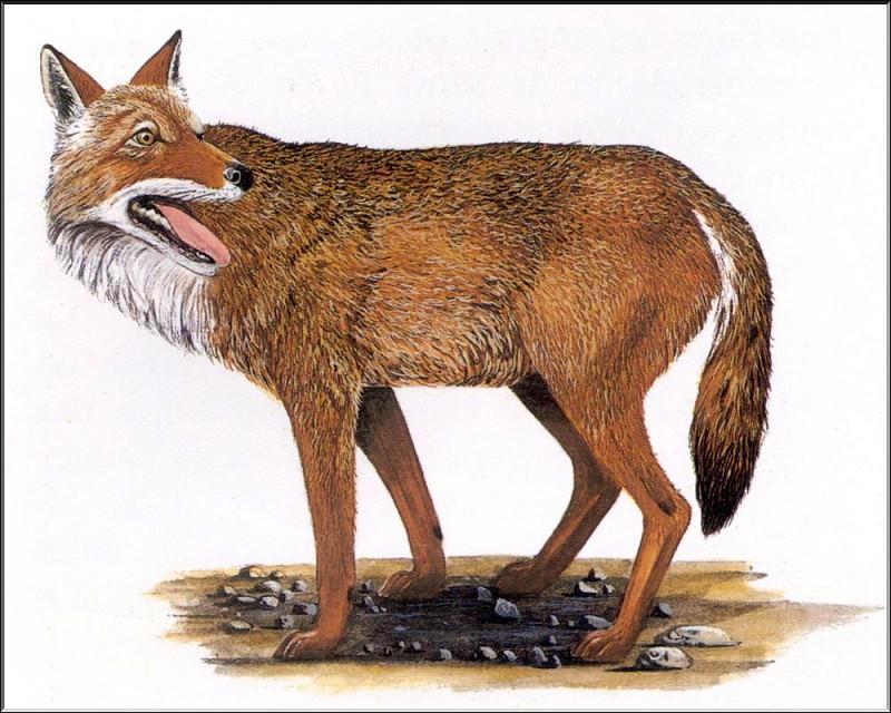 PO ExtAn 105 Canis rufus rufus. PO_Extinct_Animals