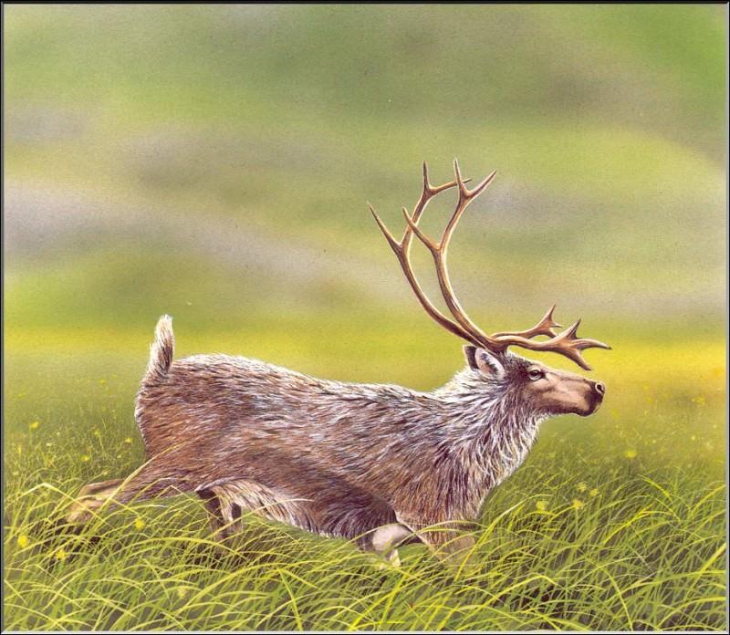 PO ExtAn 106 Rangifer dawsoni. PO_Extinct_Animals