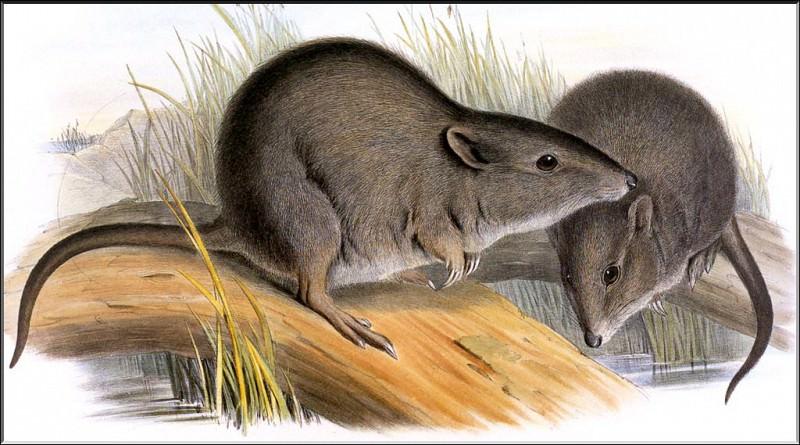 PO ExtAn 086 Potorous gilberti. PO_Extinct_Animals