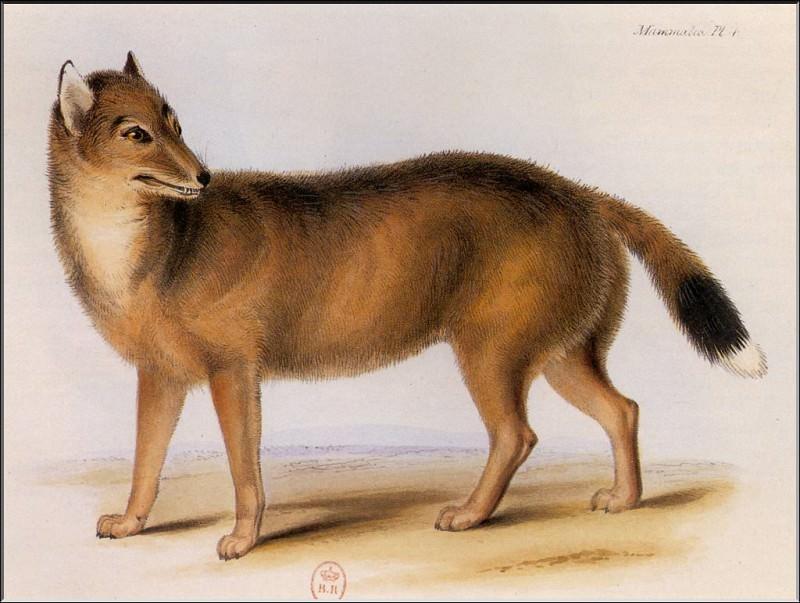 PO ExtAn 023 Dusicyon australis. PO_Extinct_Animals