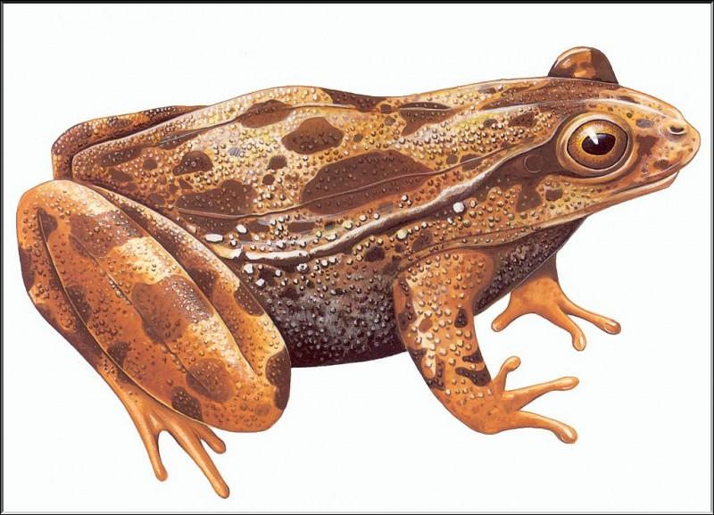PO ExtAn 072 Discoglossus Nigriventer. PO_Extinct_Animals