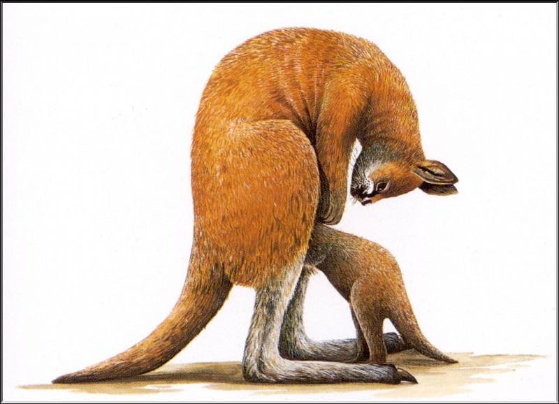 PO ExtAn 095 Procoptodon. PO_Extinct_Animals