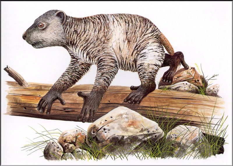 PO ExtAn 013 Megaladapis. PO_Extinct_Animals