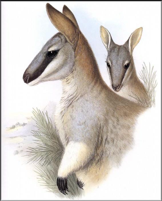 PO ExtAn 091 Wallabia greyi. PO_Extinct_Animals