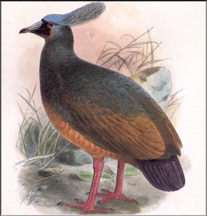 PO ExtAn 049 Microgoura meeki. PO_Extinct_Animals