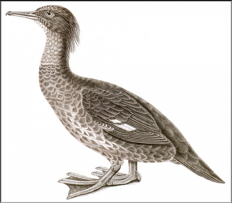 PO ExtAn 039 Mergus australis. PO_Extinct_Animals