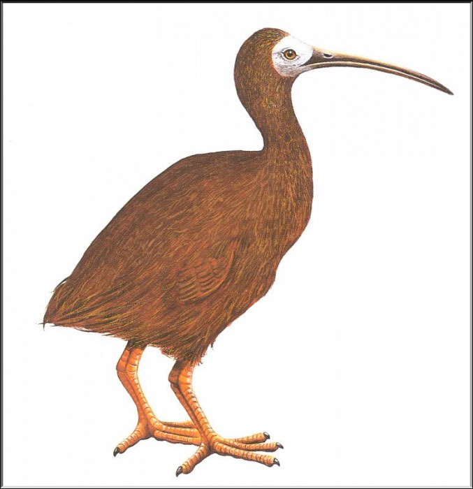 PO ExtAn 029 Ibis de Hawaii. PO_Extinct_Animals