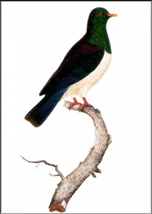 PO ExtAn 052 Hemiphaga novaezelandiae. PO_Extinct_Animals