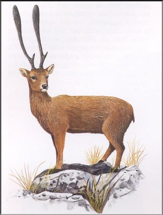 PO ExtAn 058 Candiacervus. PO_Extinct_Animals