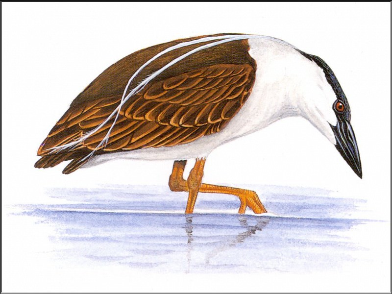 PO ExtAn 033 Nycticorax caledonicus. PO_Extinct_Animals