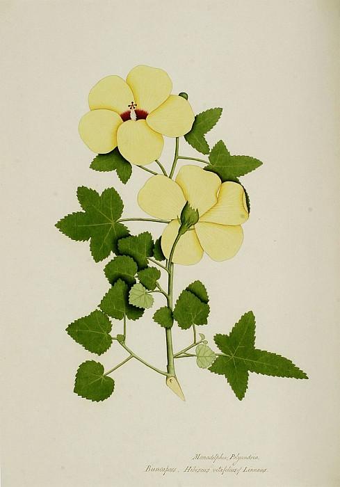 Hibiscus vitifolius 13046 172. часть 3 -- European art Европейская живопись