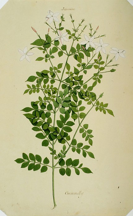 Jasminum officinale 13018 172. часть 3 -- European art Европейская живопись